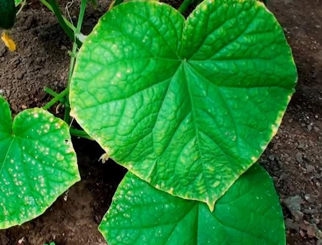 Пожелтение листьев при заморозках