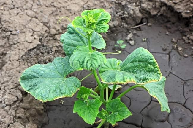 Желтеют листья огуцово от недостатка питательных веществ