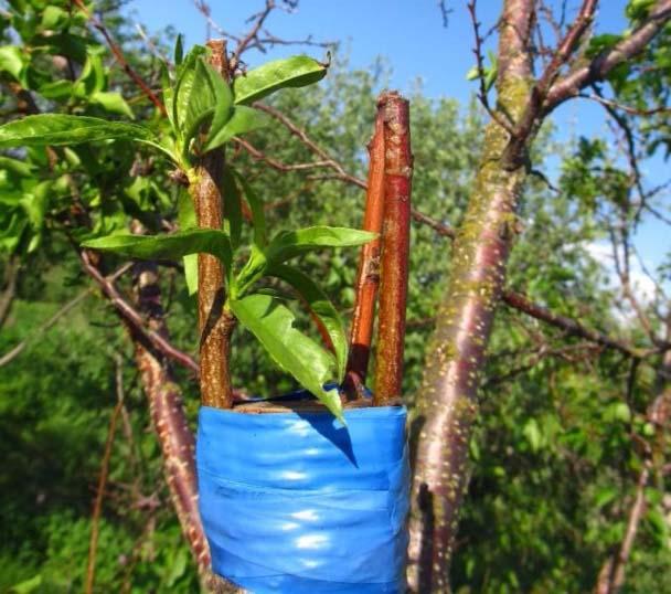 Когда прививать абрикос весной или осенью