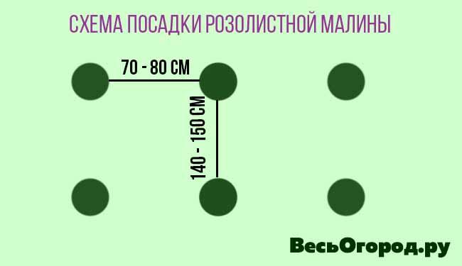 Схема посадки розолистной малины