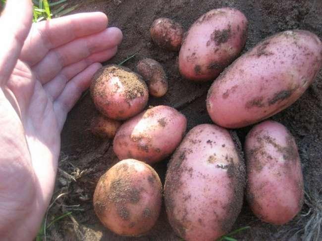 Картошка сорта Ред скарлет