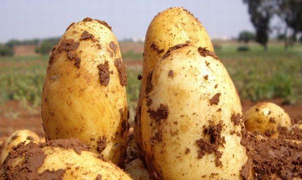 Описание раннего сорта картофеля Уладар