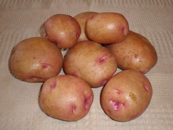 Описание ранних сортов картофеля – Снегирь