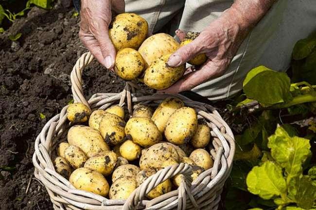 Ранний сорт картофеля Каратоп