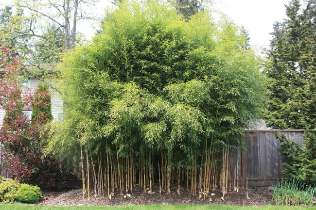 Вид бамбука Филлостахис
